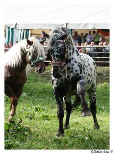 Noriker stallions
