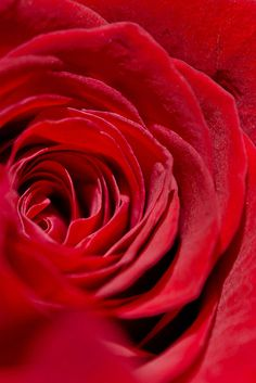 Macro of a Rose -- by tustin_shooter