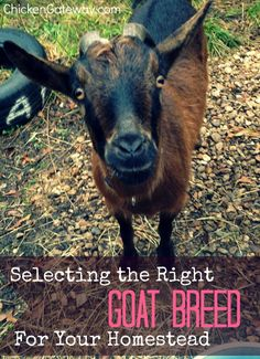 Selecting the right goat breed for your homestead - Chickens are a Gateway Animal (Chicken Backyard Goats) Raising Farm Animals, Raising Goats, Keeping Goats, Goat Care, Future Farms, Mini Farm, Goat Farming, Baby Goats, Backyard Farming
