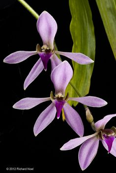 Ancistrochilus rothschildianus 'Clara' AM/AOS - Flickr - Photo Sharing!