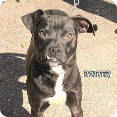 Hot Springs Village, AR - Pit Bull Terrier. Meet Buster, a dog for adoption. http://www.adoptapet.com/pet/11894846-hot-springs-village-arkansas-pit-bull-terrier