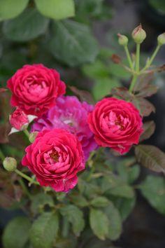 'Scent of Woman' | Floribunda Rose. Poduction in 2009 Italy, Barni