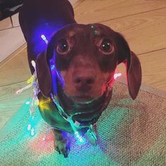 It's fairy lights Penny!  (...she wasnt too happy about this one!) #christmas #ollieandpenny #twospoiltsausages #cute #dogs