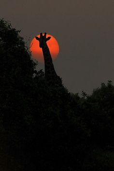 At sunrise with Giraffe, Tsavo East, Kenya