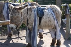 Donkey in trousers on  Île-de-Ré pictured having a quite doze in the warm sunshine. These donkeys are really friendly and docile yet very sturdy and strong and their shaggy coats make them simply adorable!