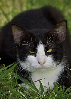 Tuxedo Cat - Photo by hz536n (Flickr) #tuxedocatfacts - See more at Catsincare.com