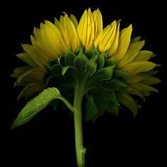WHERE'S THE SUN? Sunflower... by Magda Indigo on 500px
