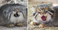 20 Photos To Show That Manul Cats Are The Most Expressive Cats Out There