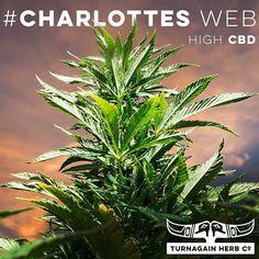 Meet #CharlottesWebb - high #CBD low #THC #Cannabis #seizures #EndProhibition #mmj [tip hat to] @thestanleybros #marijuana #mmj #medicalmarijuana #THCo #Alaska  #GirdwoodTHC #medicalcannabis