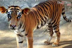 Tiger Cow Funny Animal   [ More Funny Animal Photos: http://www.fun2video.com/funny-animals-pictures/  ]
