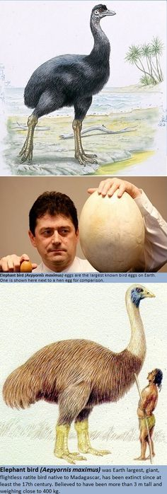 Elephant bird (Aepyornis maximus)> www.dailymail.co.uk/sciencetech/article-1258196/Return-dino-bird-How-experts-recovered-DNA-10ft-tall-Aepyornis-fossilised-egg.html > http://en.wikipedia.org/wiki/Aepyornis