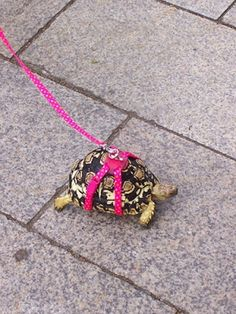 tortoise safety comes first : P  #Horsefield #RussianTortoise #Tortoises #Tortoise #reptiles