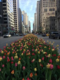 The cement planters dividing the Magnificent Mile (aka Michigan Avenue) have exploded with a myriad of flower power. The warmer than normal temperatures (yes, climate change is for real!) have accelerated the blooming of the famous Michigan Avenue tulips. They are just gorgeous! #MichiganAvenue #MagMile #MagnificentMile #Spring #Tulips #Flowers #SpringFlowers #Chicago #ChicagoGram #Insta_Spring #Insta_Chicago #🌷#Nature