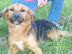 Bonnie is Abraham's sister (also available for adoption).  Thier mom Lady G is also listed for adoption through HSTC. Bonnie is hound dog, bird dog mix.  She has a very sweet temperament.  She is medium size - much smaller than Abraham.  She was...