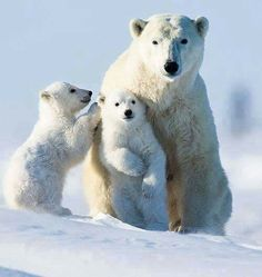Polar Bear and her cubs. Polar bears usually give birth to twins. Bear Photos, Bear Pictures, Animal Pictures, Amor Animal, Mundo Animal, Cute Baby Animals, Animals And Pets, Beautiful Creatures, Animals Beautiful