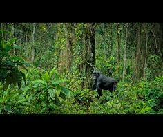 Impenetrable Forest - Bwindi National Park, Uganda
