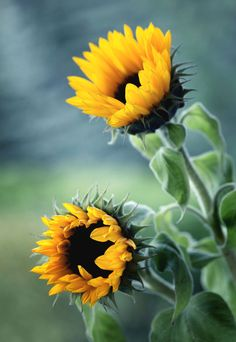 ^ by Mycatherina Happy Flowers, All Flowers, Flowers Nature, Tropical Flowers, Amazing Flowers, My Flower, Flower Power, Beautiful Flowers, Sunflower Garden