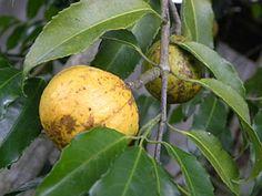 Saputá -cheiloclinium serratum