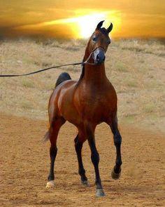 A Prancy Arabian Behind a Ocean at Sunset.
