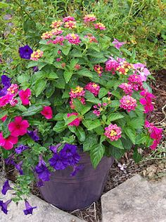 petunias and lantana - nice combination - plan to plant lantana to attract butterflies