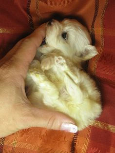 Im tiny and I chew on your hand Tiny Puppies, Teacup Puppies, Cute Puppies, Teacup Maltese, Cute Baby Animals, Animals And Pets, Pet Dogs, Dog Cat, Doggies