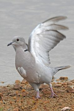 Collared Dove in rapid takeoff mode. Bird Guides, Information About Birds, Area Of Expertise, Andalucia, Months In A Year, Bird Watching, Conservation, Horses, Animals