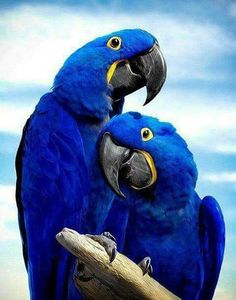 """The Hyacinth Macaw or Hyacinthine Macaw (Anodorhynchus Hyacinthinus). These are the largest species of Macaw, yet they are very even-tempered and can be calmer than other macaws, being known as """"gentle giants"""". All Birds, Cute Birds, Pretty Birds, Beautiful Birds, Animals Beautiful, Angry Birds, Tropical Birds, Exotic Birds, Colorful Birds"""
