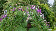 Sweetpeas in the Walled Garden - Highgrove