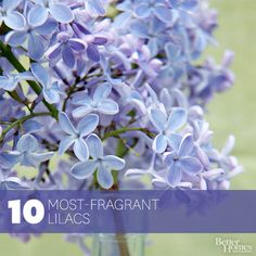 most fragrant and colorful lilacs