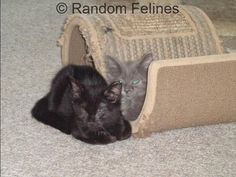Random Felines: Opt to Adopt - Calvin T  #kitten #adopt