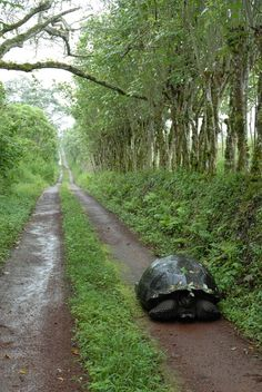 This Galapagos tortoise trudges along a man-made road on Santa Cruz island. Hara Woltz won the Conservation Ecology and Biodiversity Research category for her subtle reminder on how human development impacts animal habitat. Giant Tortoise, Tortoise Turtle, Sulcata Tortoise, Tortoise House, Animals Beautiful, Cute Animals, Land Turtles, Sea Turtles, Santa Cruz Island