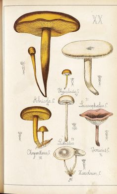 https://flic.kr/p/7e74n1 | Alnicola, Physaloides, Leucocephalus, Chrysentheus, Tonides et Hariobolum spp. | bibliodyssey.blogspot.com/2009/11/les-champignons.html