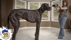 Do you believe that these great dane's can weigh up to 250 lbs. and get up to 40 inches tall?  Click on play to find out.