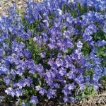 Campanula Miss-Melanie ~ Zone 5  This Campanula portenschlagiana cultivar spills lovely, lavender-blue flowers over compact mounds of foliage in June.  It looks great in containers, and offers great garden performance as well.  While some of the creeping Campanula grow pretty quickly, Melanie is petite and well behaved, not growing much more than 20cm (8 in) high by 30cm (12 in) wide.