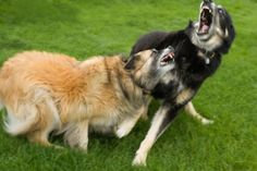Ask Cesar How to Break Up a Dog Fight Dear Cesar,   I have read several articles in our local paper about people witnessing a dog fight and wanting to stop the dog fight but did not know how to stop