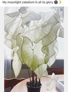 moonlight caladium 🌙 adding this beauty to my plant wish list - Indoor Plants. - moonlight caladium 🌙 adding this beauty to my plant wish list – Indoor Plants and Floral Arran - Cool Plants, Potted Plants, Garden Plants, Indoor Plants, Caladium Garden, Indoor Plant Decor, Potager Garden, Colorful Plants, Unusual Plants