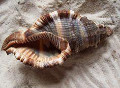 flag of Ocean Simply breathtaking - sea life Shell Beach, Ocean Beach, Nude Beach, Shells And Sand, Sea Shells, Shell Collection, Shell Art, Ocean Life, Marine Life