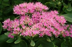 RHS Plant Selector Sedum spectabile AGM / RHS Gardening