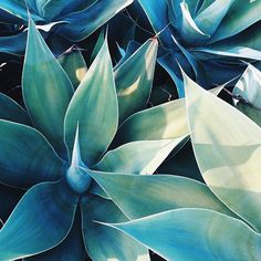 Agave by concretejungleco