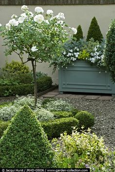 .I want 4 iceberg standards to go in the 4 quadrants of my parterre/potager, but havent got £100 to spare :(