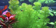 Cabomba caroliniana - Tropica Aquarium Plants