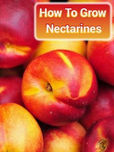 How To Grow Nectarines From Seed - grow them indoors in pots or out in your garden... #gardening #homesteading