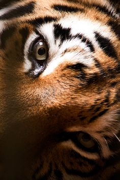 Siberian tiger by Erik Berthelsen. Even though he is well fed, laying down and behind bars - this look is still chilling.