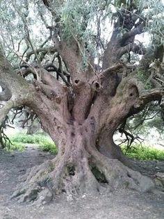 Foto di Olivastri Millenari di Santo Baltolu Weird Trees, Earth's Magnetic Field, Flora, Tree People, Tree Faces, Unique Trees, Old Trees, Big Tree, Olive Tree