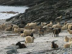 North Ronaldsay sheep are a semi-feral breed that has evolved to eat seaweed.