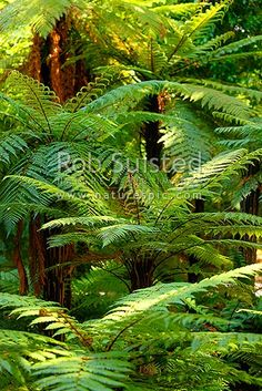 Tree ferns, New Zealand native rough tree ferns (Dicksonia squarrosa), Wheki in native forest, New Zealand (NZ) stock photo.