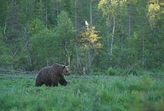Tumma karhu astelee suolla hitaasti ja katselee ympärilleen, mutta suuntaa sitten suoraan haaskalle. Kohta se kiinnittää katseensa metsään, josta ilmestyykin pienempi karhu. Suurempi tekee tilaa pienemmälle: karhuille tulija on kuningas, tulijaa väistetään aina.