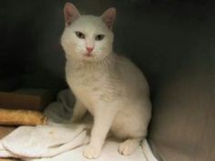 Tuna TO BE DESTROYED 12/10/16 ***Beautiful white tomcat, still young, has had enough of the shelter, on death list today! If you would like to foster or adopt and can't make it to the shelter, please write an email NOW to the Urgent Help Desk at Helpcats@Urgentpodr.org Their experienced volunteers will assist you one-on-one with rescues and the application process. Transport can be arranged by rescues to the homes of approved fosters or adopters within 3-4 hours of New York City
