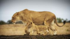"""@pinthestars Lion mother & cub. """"One Day When I'm Big..."""" by Wim van den Heever."""