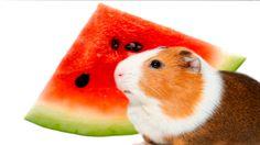 Guinea Pig eating watermelon